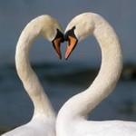 swans 150x150 Logic  vs  Romance