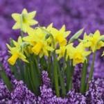 daffodil3 150x150 Daffodils and Daydreams ~