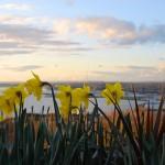 daffodils 150x150 Daffodils and Daydreams ~