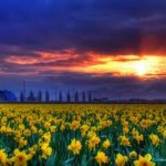 daffodils2 150x150 Daffodils and Daydreams ~