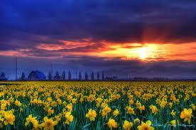 daffodils2 Daffodils and Daydreams