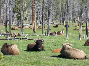 100 2387 300x225 Buffalo in Yellowstone National Park