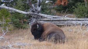 DSC00631 300x168 Buffalo in Yellowstone