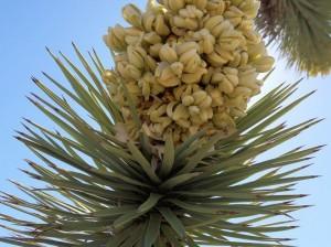 joshua tree bloom 1 4 3 r541 c540 300x224 joshua tree bloom 1 4 3 r541 c540