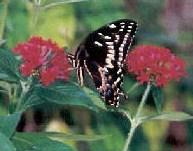 swallowtail1 swallowtail